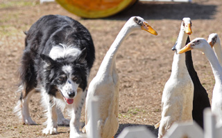 Gene Sheninger's border collies not only herd sheep, but ducks.