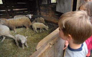 Young visitors peer in to see newborn lambs and sheep.