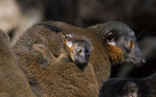 Borwn collared lemurs. Photo by Julie Larsen Maher
