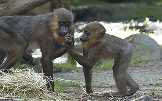Young mandrill born last fall. Photo by Julie Larsen Maher