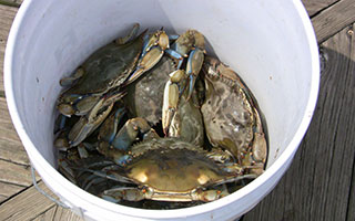 The blue claw crabs are running