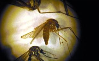 Mosquito Batch in Westchester tests postive for West Nile Virus