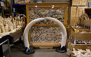 Some of the six tons of confiscated elephant ivory scheduled to be crushed by the U.S. Fish and Wildlife Service today in Denver, Colorado.  CREDIT: Julie Larsen Maher/Wildlife Conservation Society.
