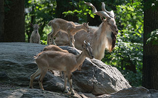 turkmenian markhors Photo credit: Julie Larsen Maher © Wildlife Conservation Society
