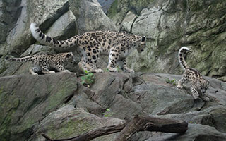 snow leopard and cubs bronx zoo