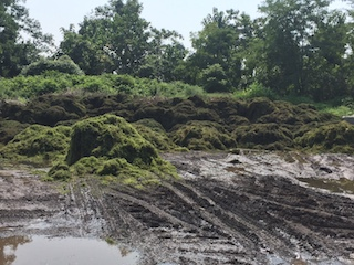 Mounds of milfoil grass at Tarrytown Dump (After)
