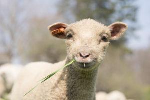 Stone Barns Center Sheep Shearing Fest